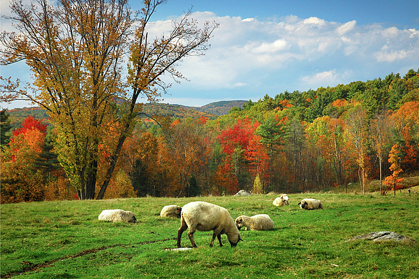 Pasture - New England Fall Landscape Sheep Print by Jon Holiday