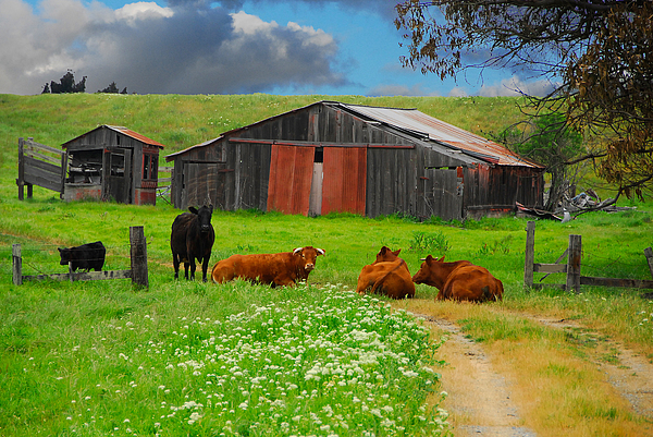 Peaceful Cows Print by Harry Spitz