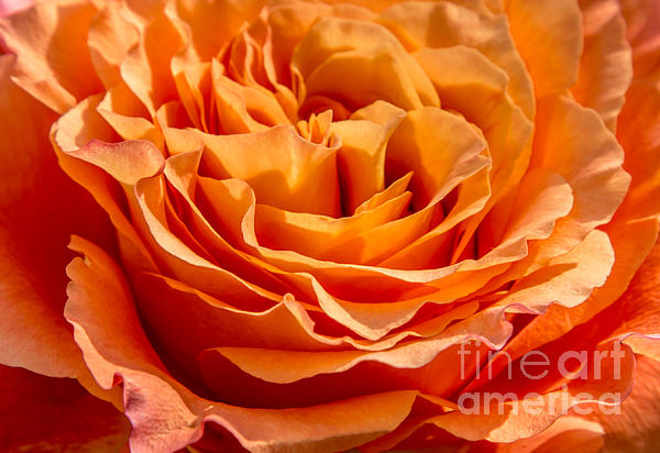 Olga Photography - Peach Rose Close Up
