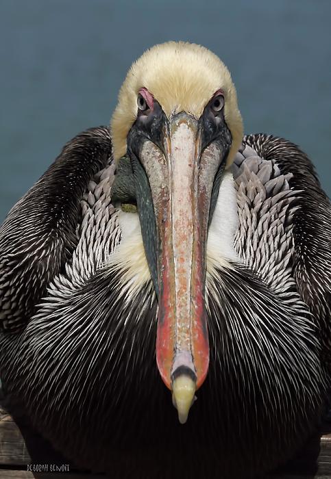 Pelican Stare Print by Deborah Benoit