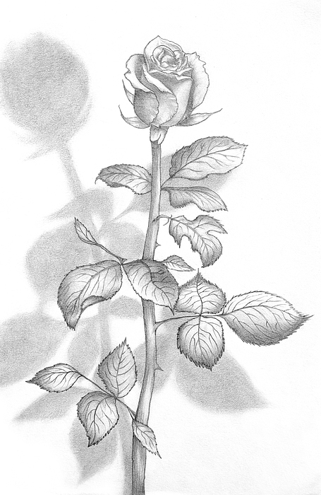 Pencil Drawing Of A Beautiful Rose Print by Evelyn Sichrovsky
