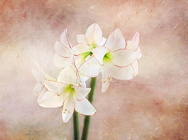 Terry Davis - Picotee amaryllis