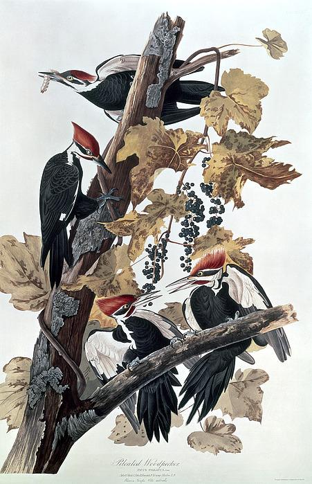 Pileated Woodpeckers Print by John James Audubon