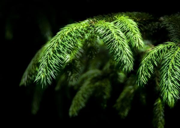 Pine Tree Brunch Print by Svetlana Sewell