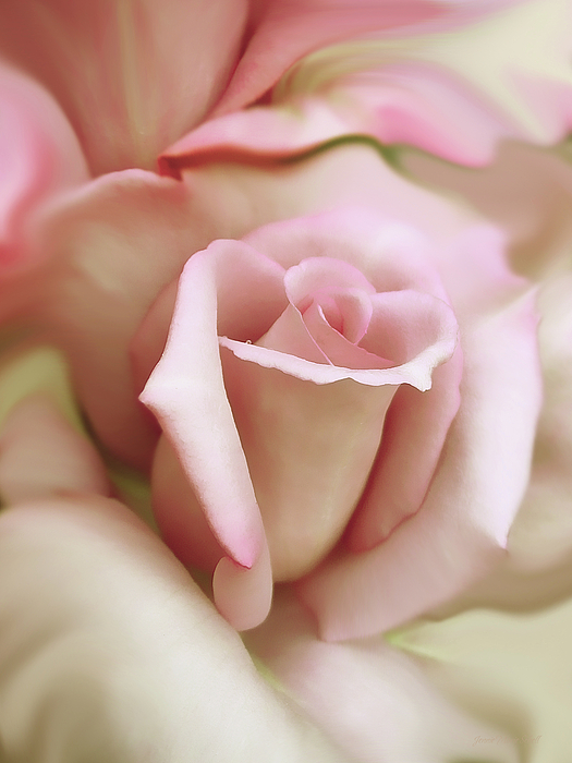 Pink And Ivory Rose Portrait Print by Jennie Marie Schell