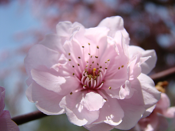 Pink Blossom Nature Art Prints 34 Tree Blossoms Spring Nature Art Print by Baslee Troutman