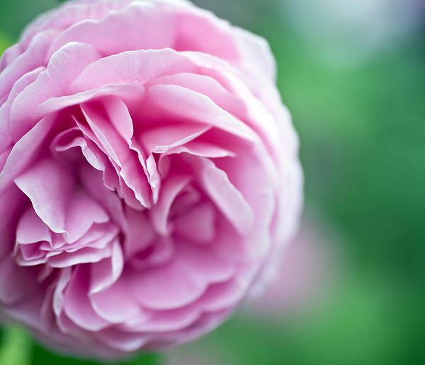 Pink Bourbon Rose Louise Odier Print by Frank Tschakert