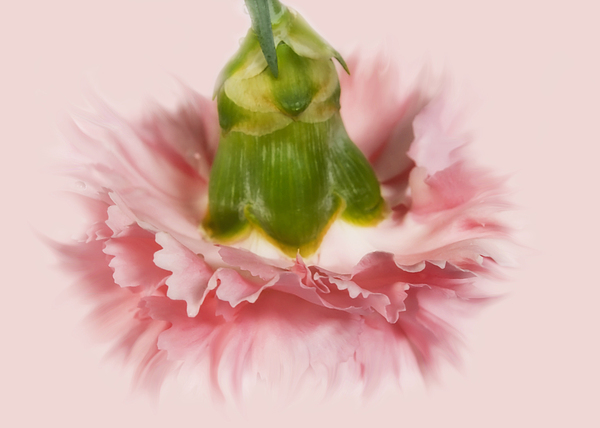 Pink Carnation Print by Svetlana Sewell