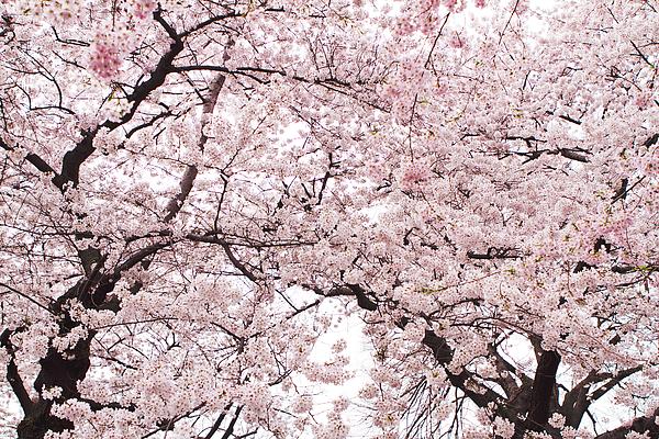 Pink Cherry Blossom Tree Print by Ariane Moshayedi