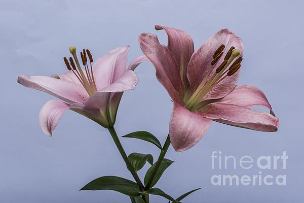 Steve Purnell - Pink Lilies 4