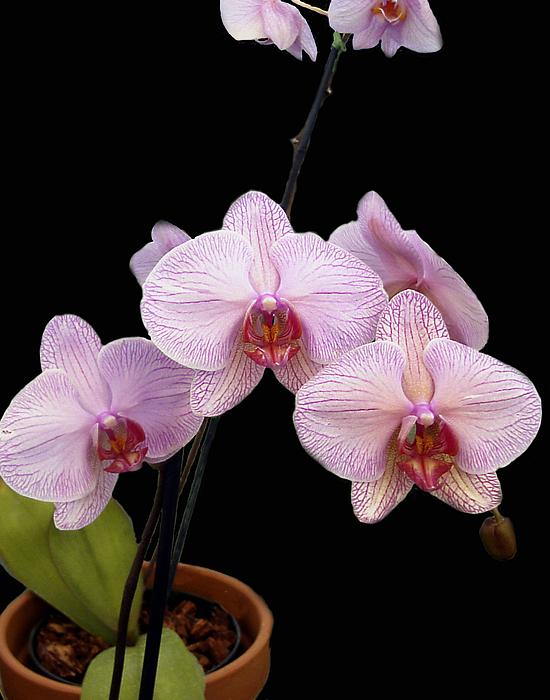Pink Orchids Print by Kurt Van Wagner