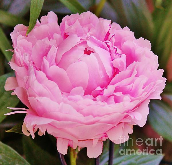 Kathy Hulbert - Pink Peony Bloom
