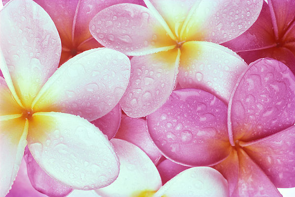 Pink Plumeria Print by Carl Shaneff - Printscapes
