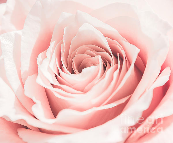 Olga Photography - Pink Rose Close Up