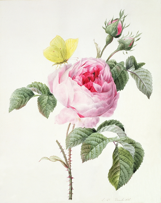 Pink Rose With Buds And A Brimstone Butterfly Print by Louise DOrleans
