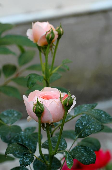 Guido Strambio - Pink twins