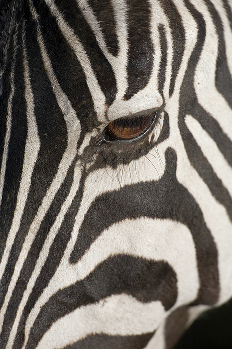Plains Zebra (equus Burchelli), Close-up Of Eye Print by Paul Souders
