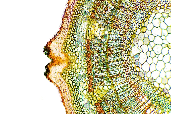 Plant Breathing Pore, Light Micrograph Print by Dr Keith Wheeler