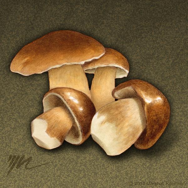 Porcini Mushrooms Print by Marshall Robinson