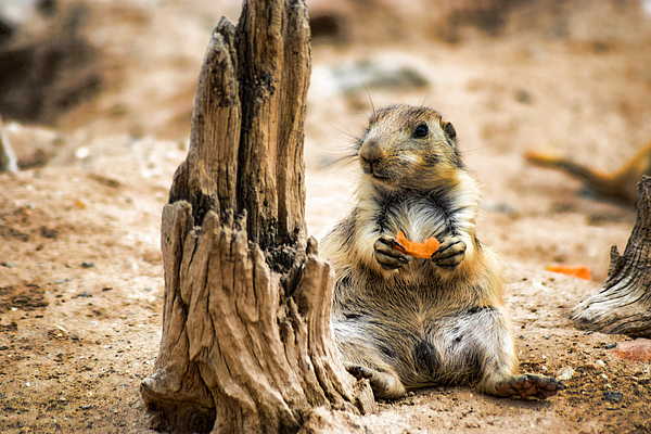 Prairie Dog Having A Bite To Eat by Amy Wilson
