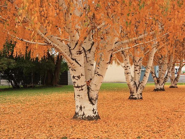 Prosser - Autumn Birch Trees Print by Carol Groenen