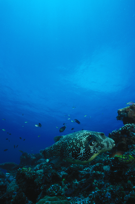 Pufferfish On Coral Reef Print by James Forte