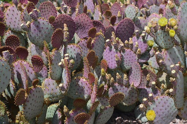 Aimee L Maher Photography and Art - Purple Prickly Pear 2