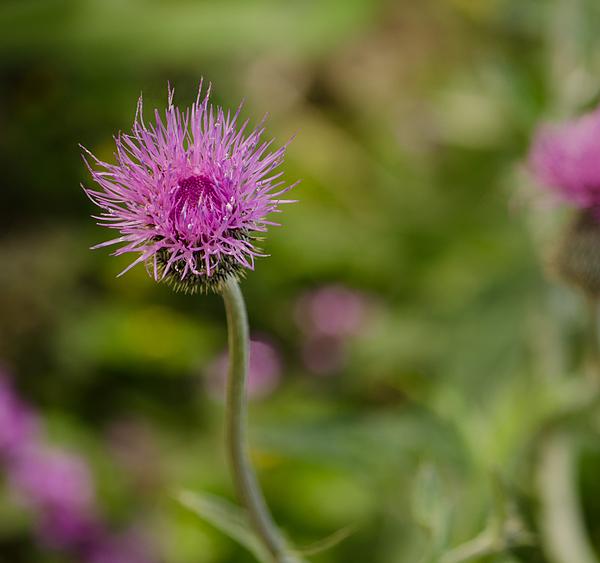 Purple Thistle By Victoria Leonardo