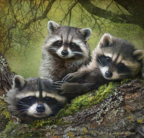 free hq baby raccoon - photo #40