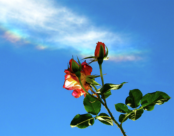 Rainbow Cloud And Sunlit Roses Print by CML Brown
