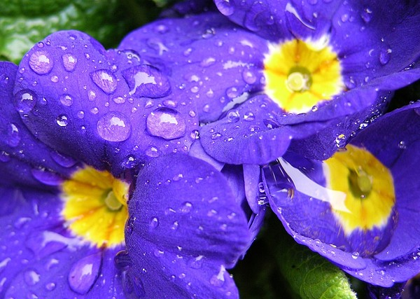 Raindrops On Blue Flowers Print by Carol Groenen