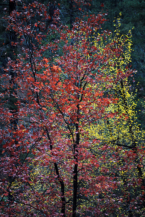 Red And Yellow Leaves Abstract Vertical Number 1 Print by Heather Kirk