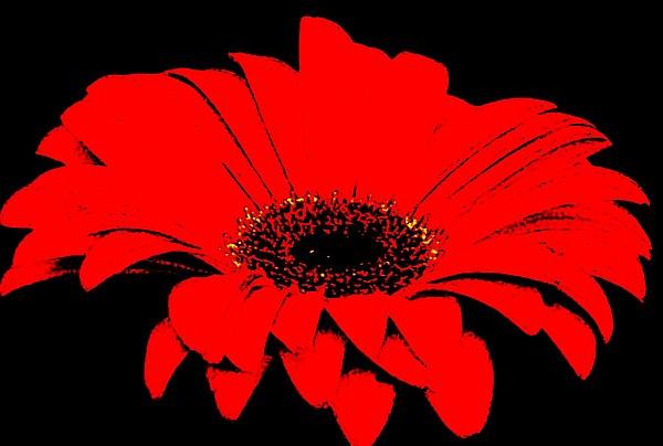 Red Daisy On Black Background Print by Marsha Heiken