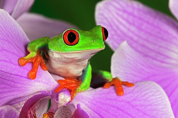 Red-eyed Tree Frog. Print by Adam Jones