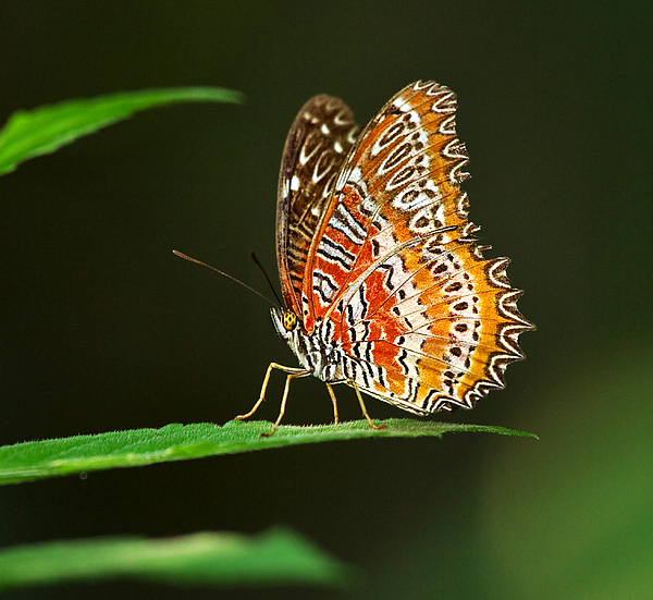Red Lacewing Butterfly Print by Louise Heusinkveld