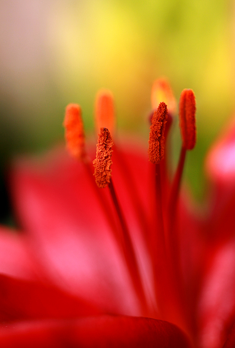 Red Lily Abstract One Print by Tony Ramos