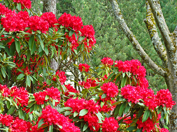 Red Rhododendron Garden Art Prints Rhodies Landscape Baslee Troutman Print by Baslee Troutman