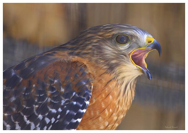 Red Shoulder Hawk Print by Deborah Benoit