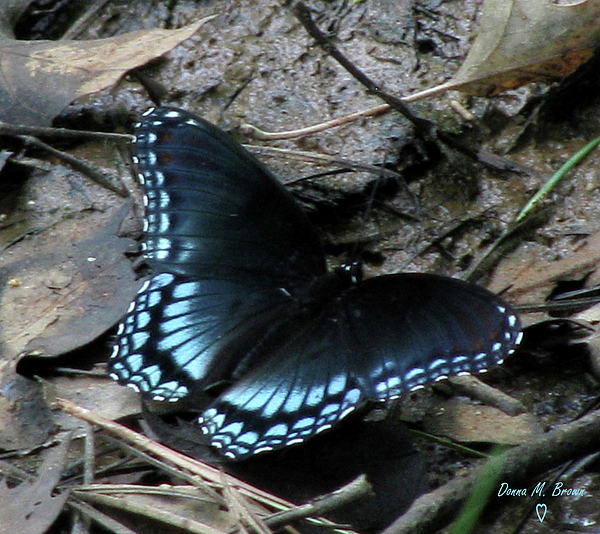 Purple spotted swallowtail - photo#21