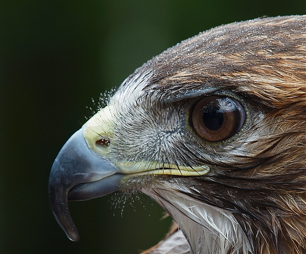 Red Tail Hawk Misted Print by Peter Gray
