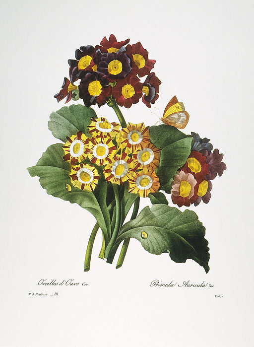 Redoute: Auricula, 1833 Print by Granger