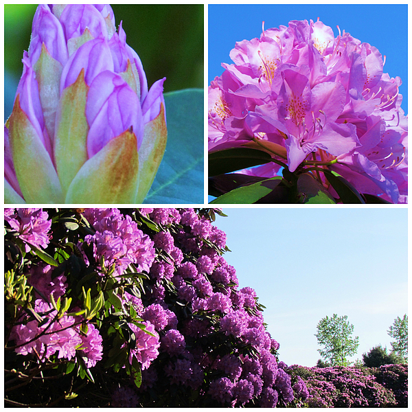 Beverly Canterbury - Rhododendron Collage