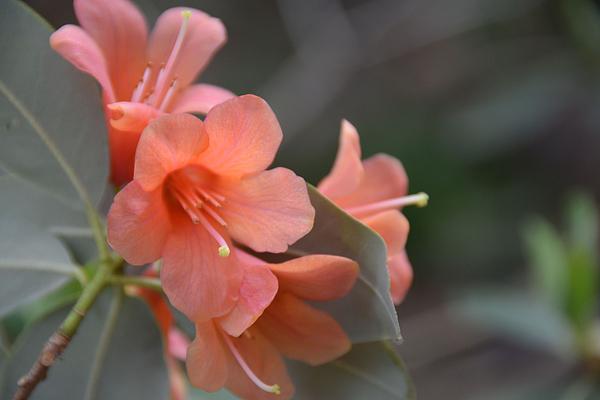 Lena Kouneva - Rhododendron in Orange