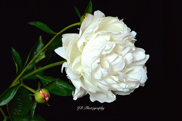 Jeannie Rhode Photography - Romantic White Peony
