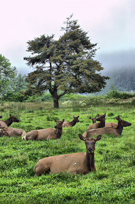 Roosevelt Elk Lounging Print by Nena Trapp
