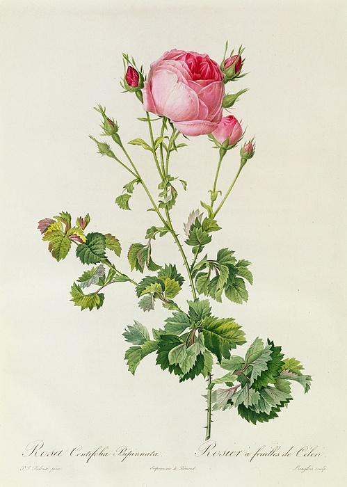 Rosa Centifolia Bipinnata Print by Pierre Joseph Redoute
