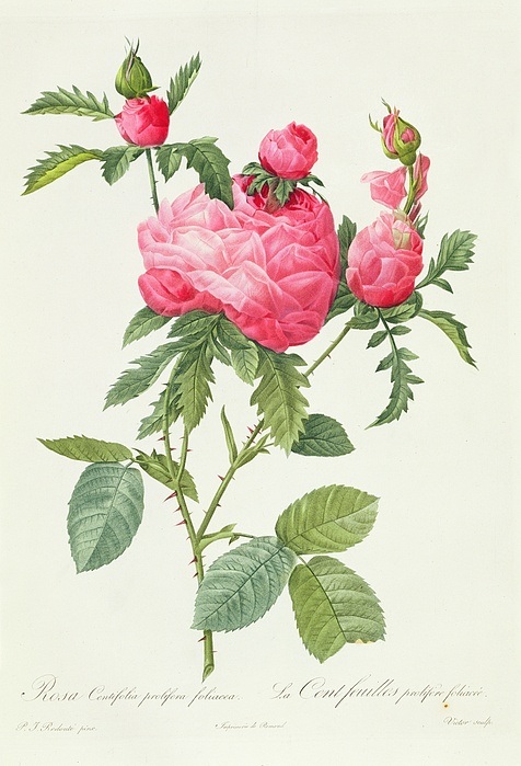 Rosa Centifolia Prolifera Foliacea Print by Pierre Joseph Redoute