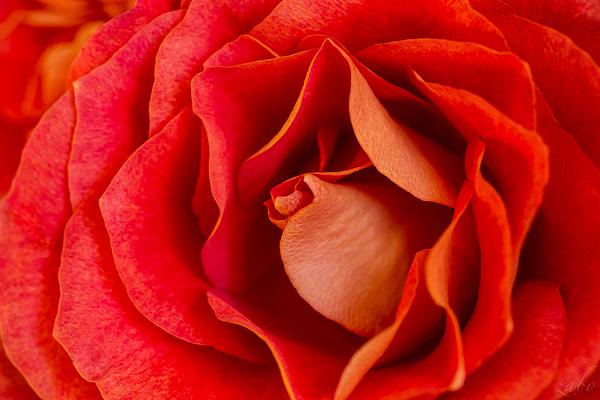 Alex Zabo - Rose