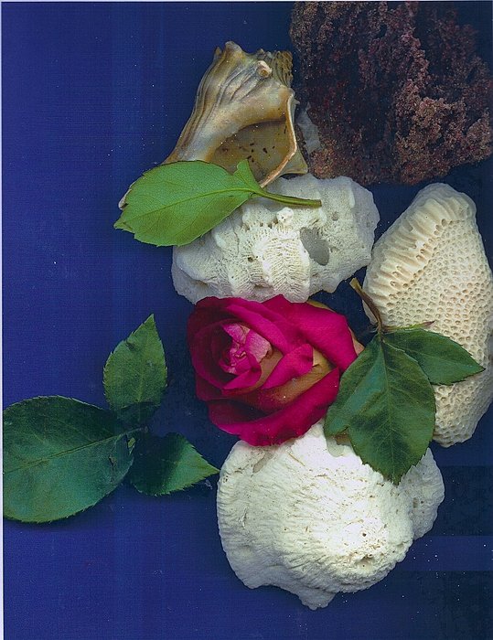 Rose Corals Shell Print by Leonor Shuber
