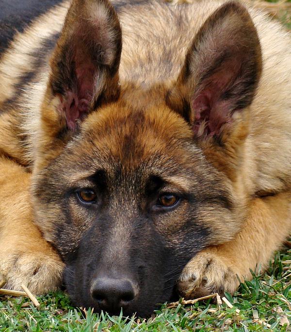 Sable German Shepherd Puppy Print by Sandy Keeton